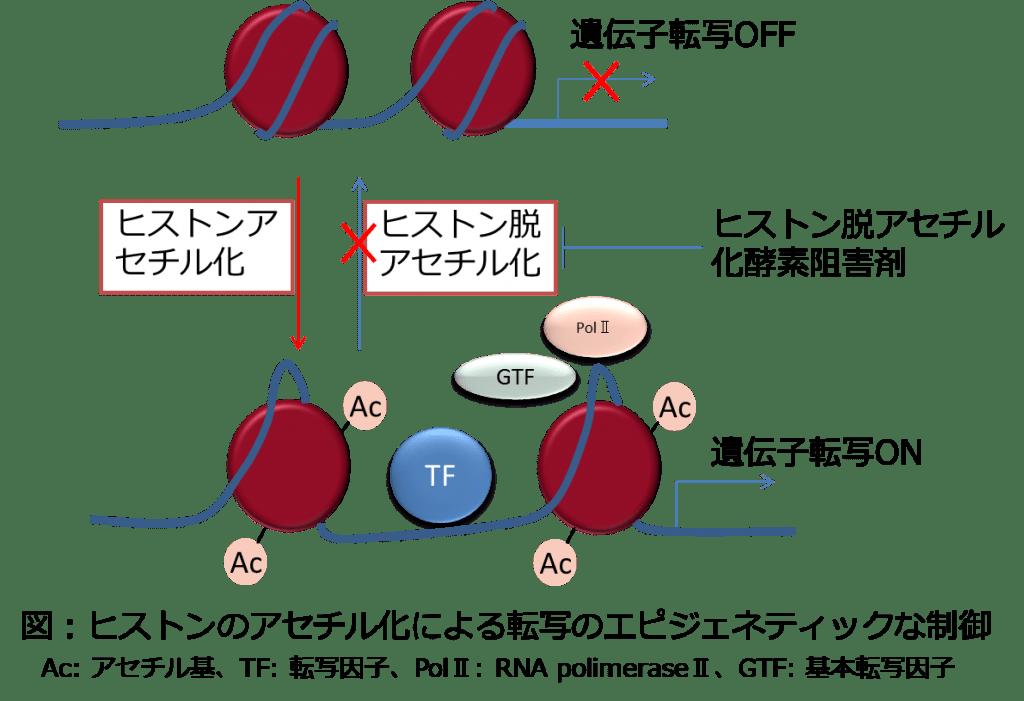 ヒストン脱アセチル化酵素阻害剤作用図