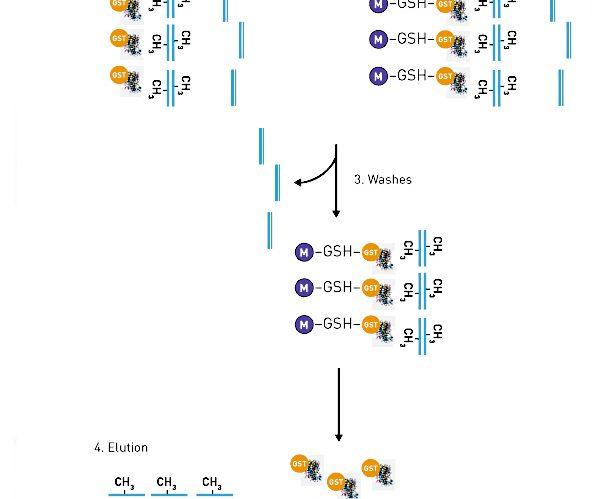 MethylCapアッセイ|エピジェネティクス研究で使用される実験手法